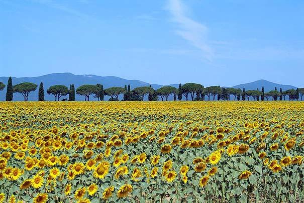 Sonnenblumenfeld in der Maremma