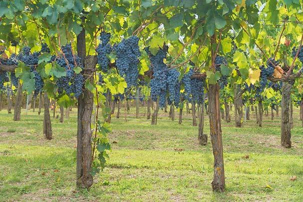 Weinanbau im Chianti
